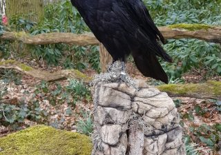 Zwarte Raaf - opgezet - geprepareerd - taxidermy