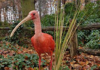 Rode Ibis - opgezet - taxidermy - geprepareerd