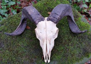 Schedel van een Ram met hoorns