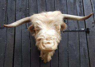 Schotse Hooglander Stierenkop - Opgezet - Geprepareerd - Taxidermy