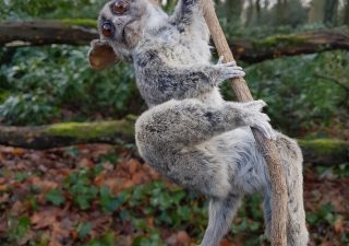 Senegal Galago - Greater Bushbaby - Opgezet - Geprepareerd - Taxidermy