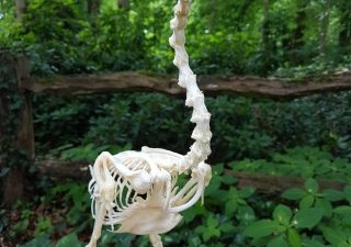 Skelet van een Javaanse Eend - geprepareerd - opgezet - taxidermy