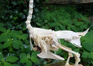 Skelet van een Kriel Haan - geprepareerd - opgezet - taxidermy