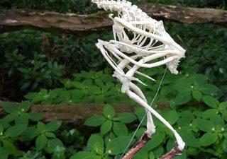 Skelet van een Woestijnbuizerd - geprepareerd - opgezet - taxidermy