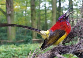 Gould's Sunbird in antieke stolp - opgezet - preparaat - taxidermy