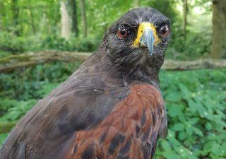 Harris Hawk oder der Wüstenbussard - Tierpräparation - Präparat - Taxidermy