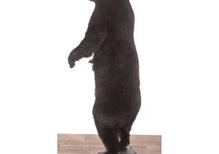 Zwarte Beer Staand - opgezet - geprepareerd - taxidermy