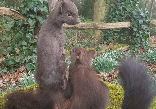 Eekhoorn paartje - Opgezet - Geprepareerd - Taxidermy