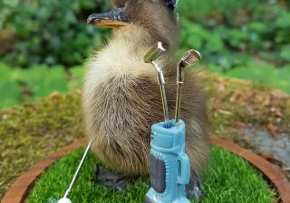 Eendje taxidermy `Duck Playing Golf ` in opgemaakte Stolp - Taxidermy - Opgezet - Geprepareerd