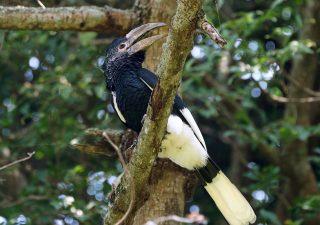 Schedel van een Witpootneushoornvogel