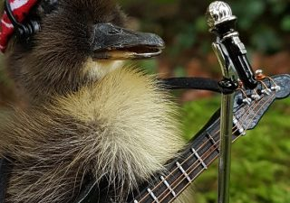 Entenküken `Bruce Springsteen in Concert` - Ausgestopft - Tierpräparation - Präparat - Taxidermy