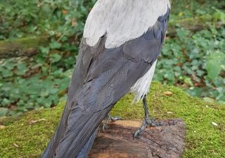 Bonte Kraai staand - opgezet - geprepareerd - taxidermy