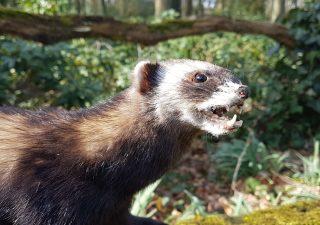Europäischer Iltis - Ausgestopft - Tierpräparation - Taxidermy