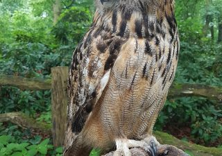 Europäische Uhu - Tierpräparation - Präparat - Taxidermy