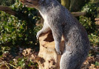 Grijze Eekhoorn - Opgezet - Geprepareerd - Taxidermy