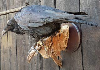 Kolkrabe - Ausgestopft - Tierpräparation - Präparat - Taxidermy