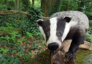 Europäischer Dachs - Warthog - Ausgestopft - Tierpräparation - Taxidermy