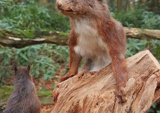 Eichhörnchen - Ausgestopft - Tierpräparation - Taxidermy