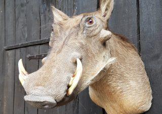Wrattenzwijn of Knobbelzwijn - Opgezet - Geprepareerd - Taxidermy