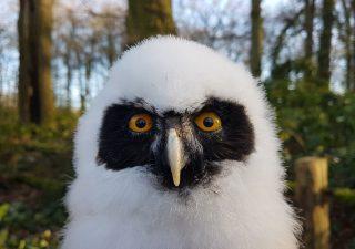 Brillenkauz Jungtier - Tierpräparation - Präparat - Taxidermy