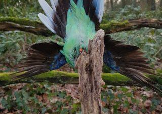 Sittich - Ausgestopft - Tierpräparation - Präparat - Taxidermy