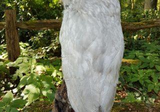Oeraluil - opgezet - geprepareerd - taxidermy