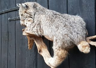 Canadese Rode Lynx - opgezet - geprepareerd - taxidermy