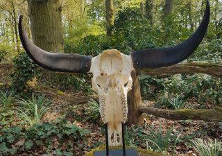 Waterbuffel Schedel - geprepareerd - opgezet - taxidermy