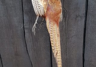 Fazant Haan voor Wildkroon - opgezet - geprepareerd - taxidermy