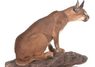 Wüstenluchs oder Karakal - Ausgestopft - Tierpräparation - Taxidermy