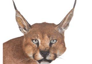 Woestijn Lynx - Caracal - opgezet - geprepareerd - taxidermy