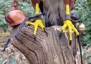 Woestijnbuizerd - opgezet - preparaat - taxidermy