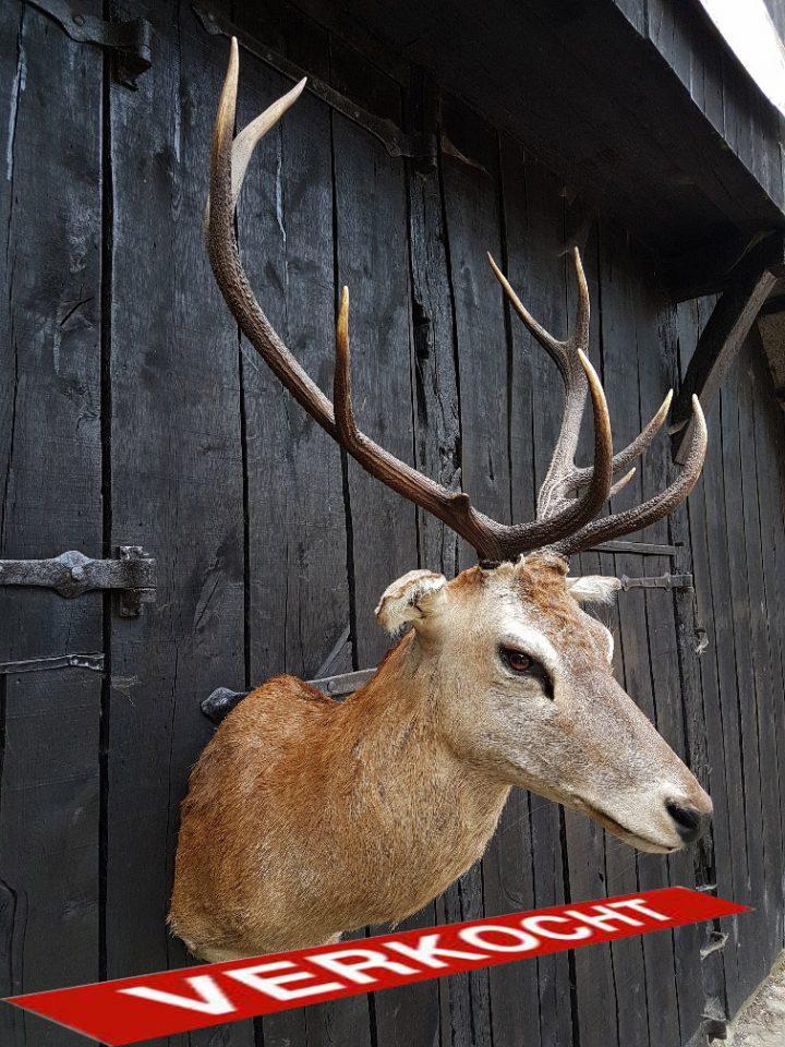 Rotwild - Hirsch - Ausgestopft - Tierpräparation - Taxidermy