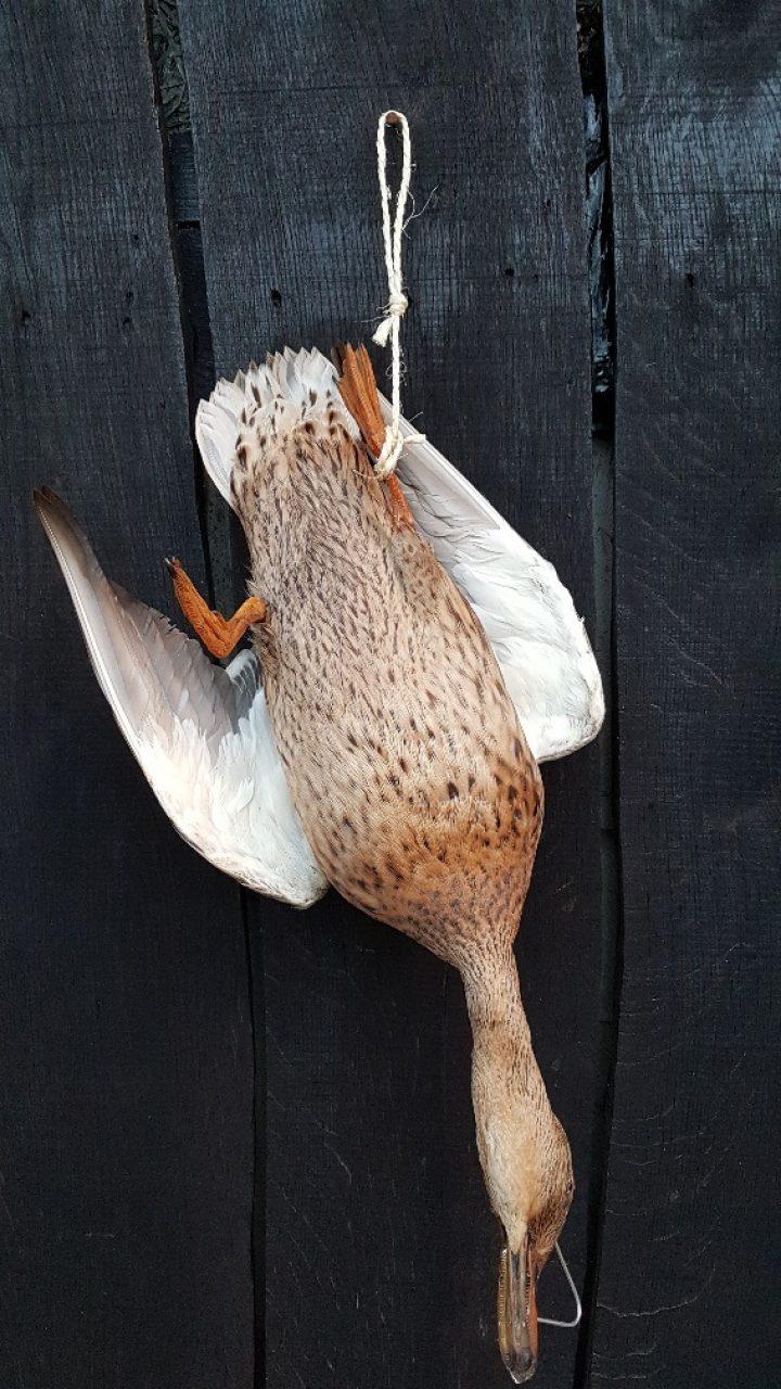 Ente fur Wildkrone - Ausgestopft - Tierpräparation - Präparat - Taxidermy