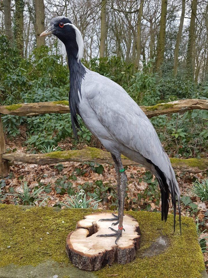 Jufferkraanvogel - opgezet - geprepareerd - taxidermy
