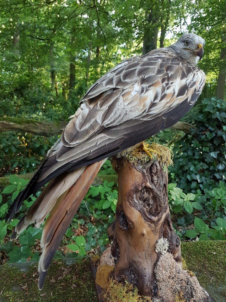 Rotmilan - Tierpräparation - Präparat - Taxidermy