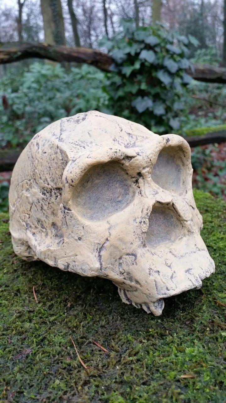 Schedel replica Homo Erectus 1.9 milj. - 400.000 jaar oud