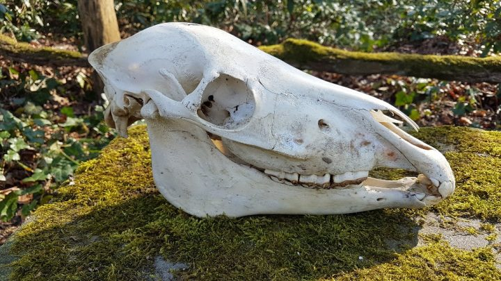 Shetlandpony Schedel - geprepareerd - opgezet - taxidermy