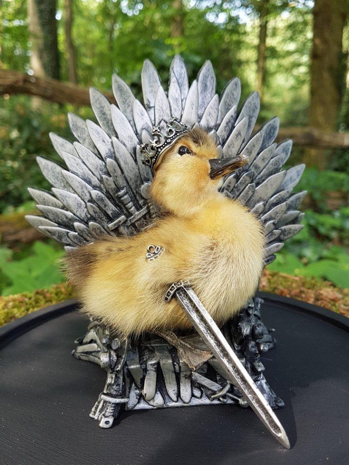 Entenküken `Konig Aus Game Of Thrones` - Ausgestopft - Tierpräparation - Präparat - Taxidermy