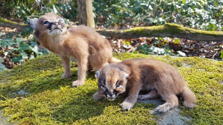 Woestijn Lynx Jongen - Caracal - Opgezet - Geprepareerd - Taxidermy