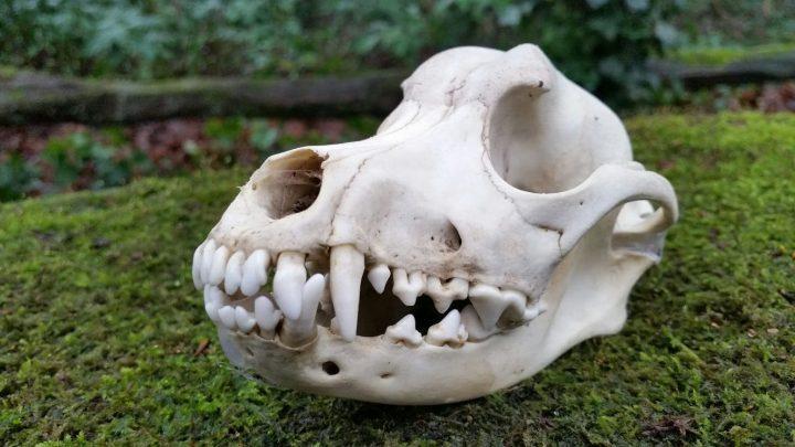 Schedel van een Hond 16 cm