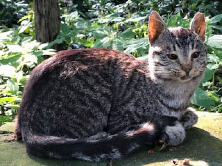 Huiskat - opgezet - geprepareerd - taxidermy