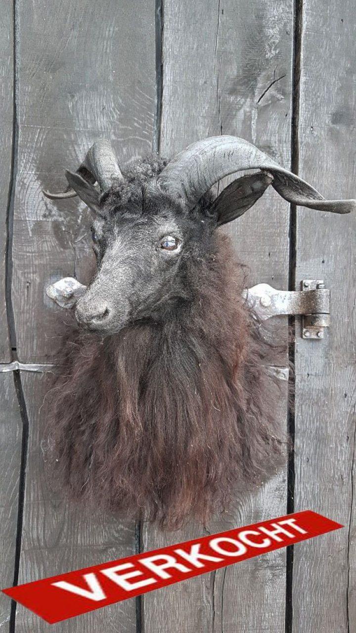 Kaschmir Ziege - Ausgestopft - Tierpräparation - Taxidermy