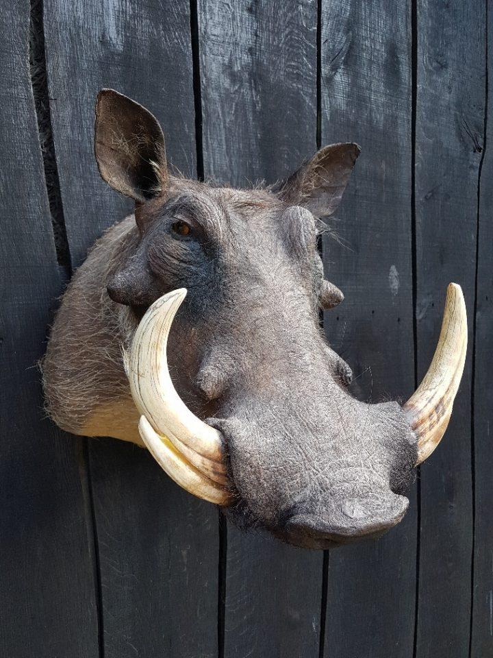 Wrattenzwijn - Opgezet - Geprepareerd - Taxidermy
