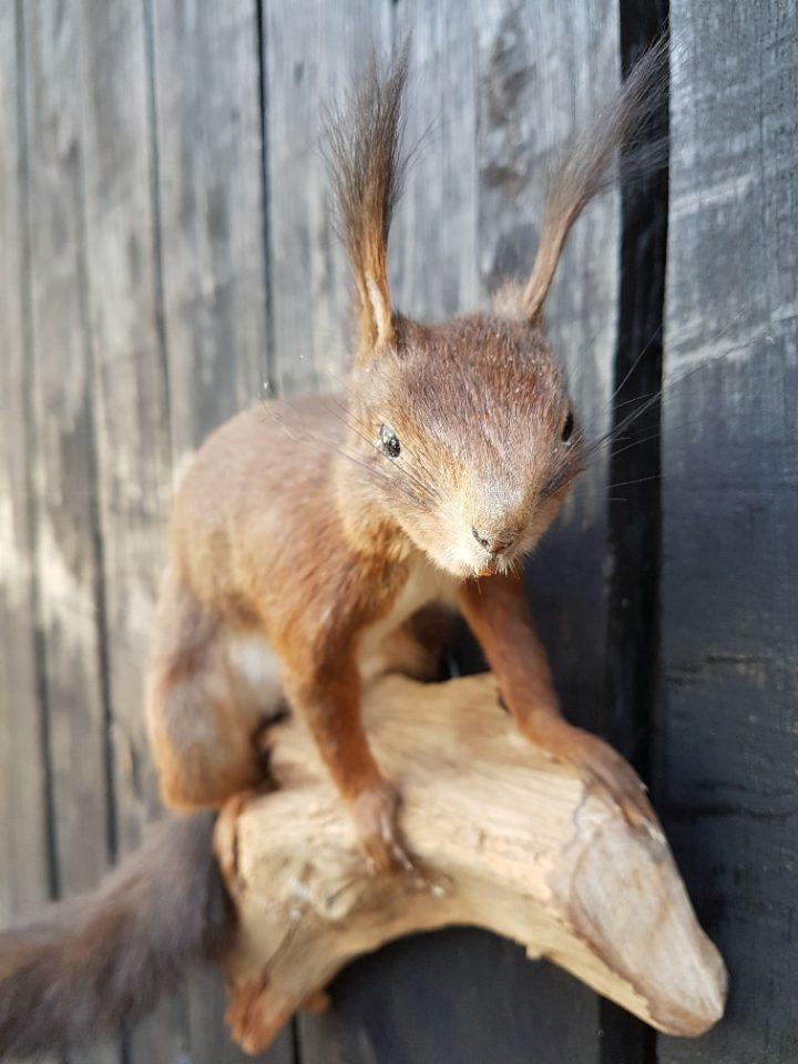 Eekhoorn rood - Opgezet - Geprepareerd - Taxidermy