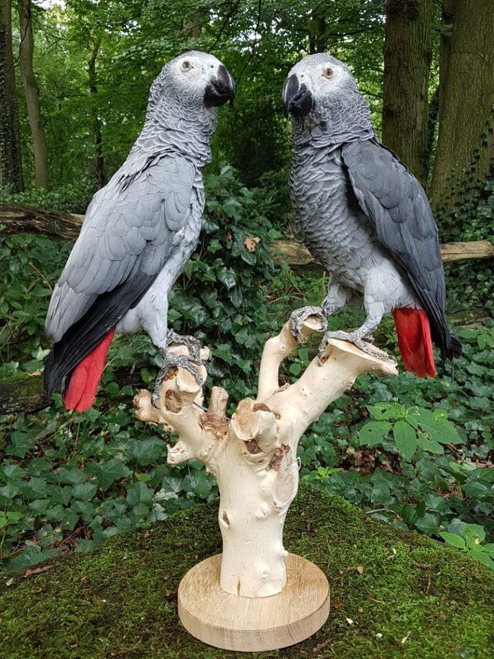 Grijze Roodstaart Papegaaien - opgezet - preparaat - taxidermy
