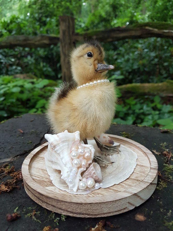 Eendje als `Pearl Duck` in opgemaakte Stolp - Taxidermy - Opgezet - Geprepareerd