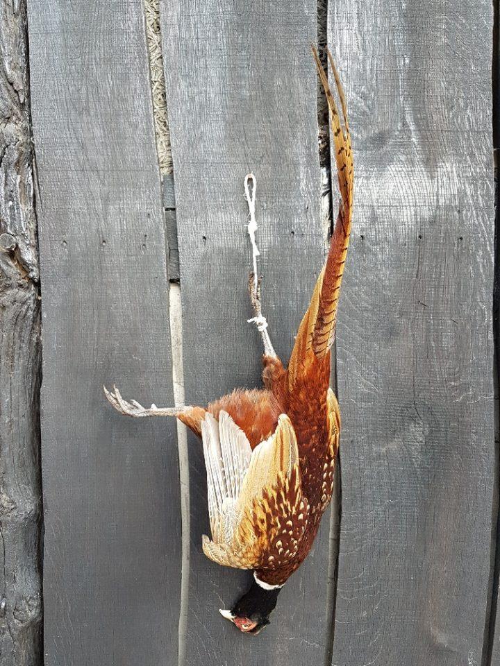 Fasan Mann - Ausgestopft - Tierpräparation - Präparat - Taxidermy