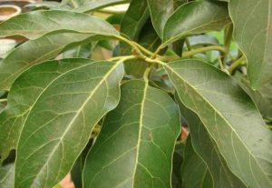 avocado leaves original