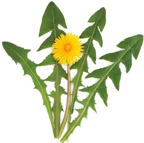 dandelion leaves